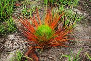 Grass stage after fire, Longleaf pine (Pinus palustris Miller) forest
