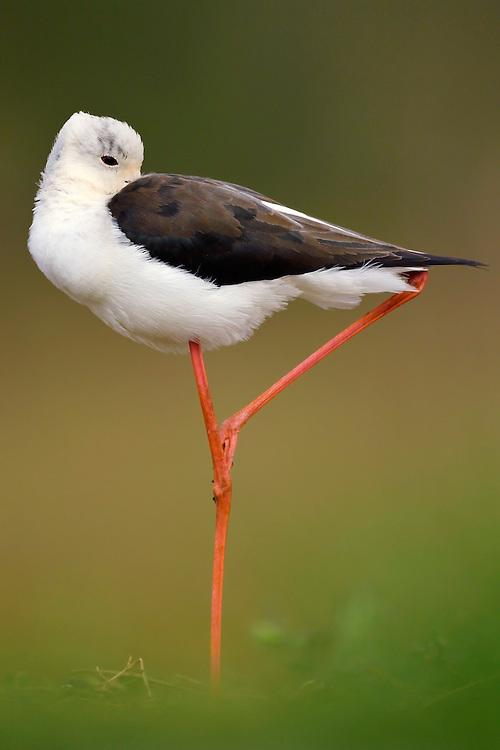 Black-winged stilt, Himantopus himantopus, Zimanga Private Nature Reserve, KwaZulu Natal, South Africa