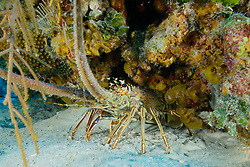 Panulirus argus, Amerikanische Laguste oder Karibik Languste, West Indian spiny lobster or langouste, Insel Cooper, Britische Jungferninsel, Karibik, Karibisches Meer, Cooper Island, British Virgin Islands, BVI, Caribbean Sea