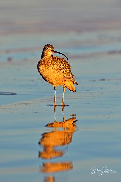 Long-billed Curlew (Numenius americanus), Morro Bay, California, USA