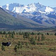 Barren Ground Caribou (Rangifer arcticus) bull on tundra.