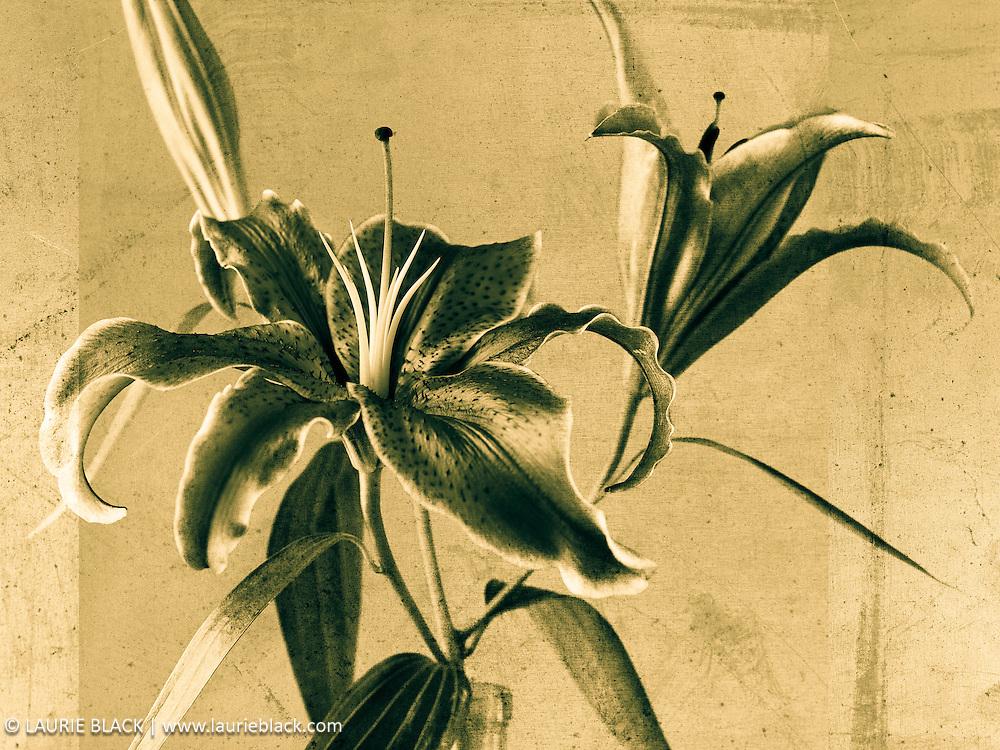 Lily botanical photo
