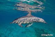 Hawaiian spinner dolphin or Gray's spinner dolphin, Stenella longirostris longirostris, and small calf, Kona Coast, Hawaii Island ( Central Pacific )
