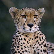 Cheetah, (Acinonyx jubatu) Poartrait. Masai Mara Game Reserve. Kenya. Africa.