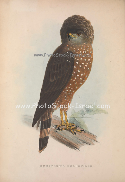 Haematornis holospilus (Crested Serpent-eagle) from Zoologia typica; or, Figures of new and rare animals and birds described in the proceedings, or exhibited in the collections of the Zoological Society of London. By Fraser, Louis. Zoological Society of London. Published London, March 1847