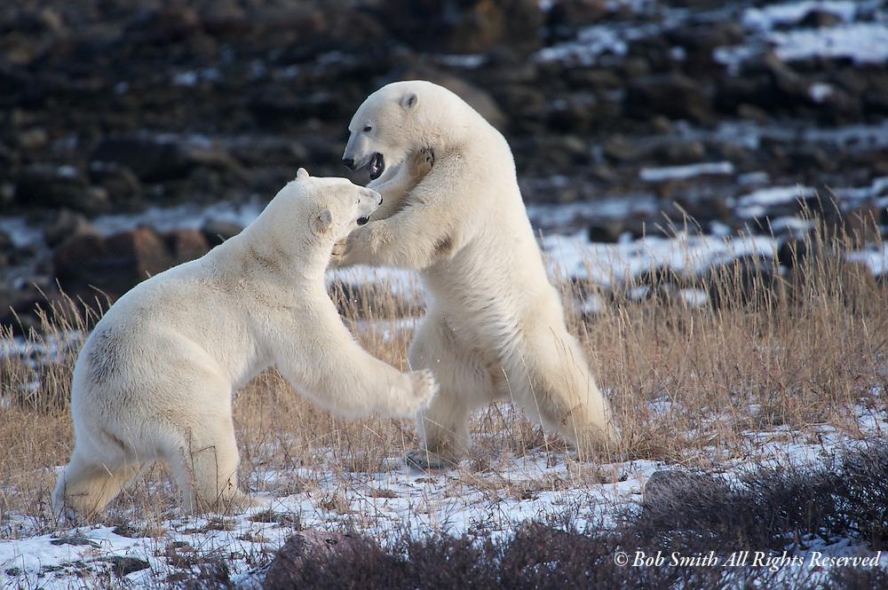 Two polar bears wrestle on the shores of Hudson Bay