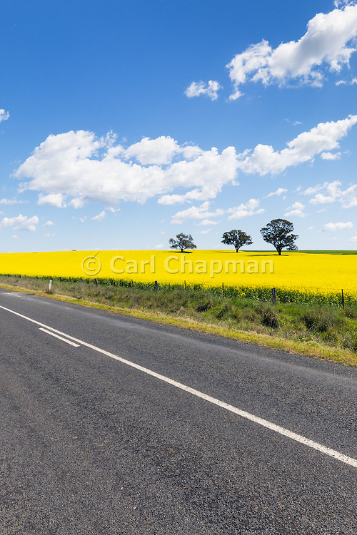 rural road next to field of flowering canola crop under blue sky and cumulus cloud near Cudal, News South Wales, Austraila. <br /> <br /> Editions:- Open Edition Print / Stock Image