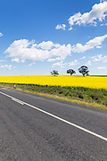 rural road next to field of flowering canola crop under blue sky and cumulus cloud near Cudal, News South Wales, Austraila. <br />