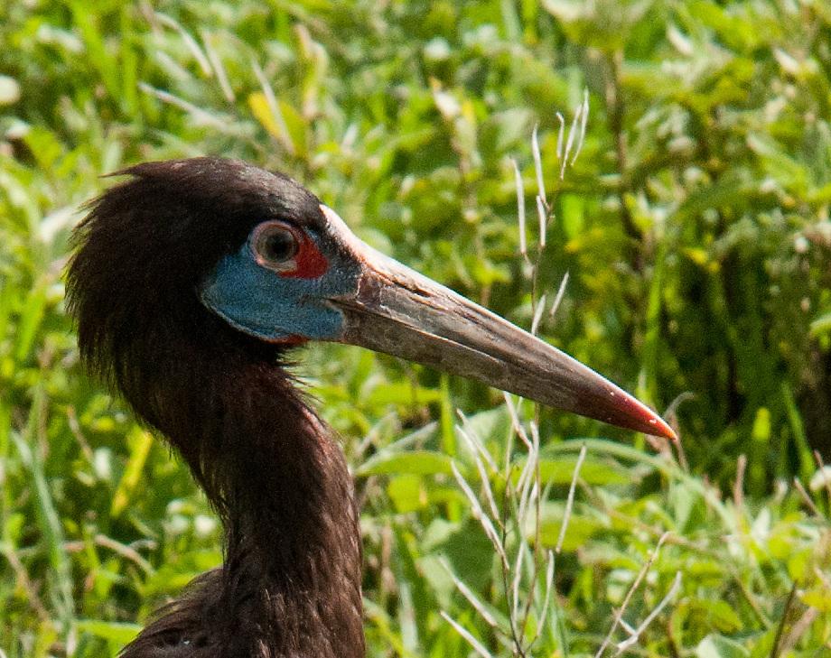 Abdim's stork closeup