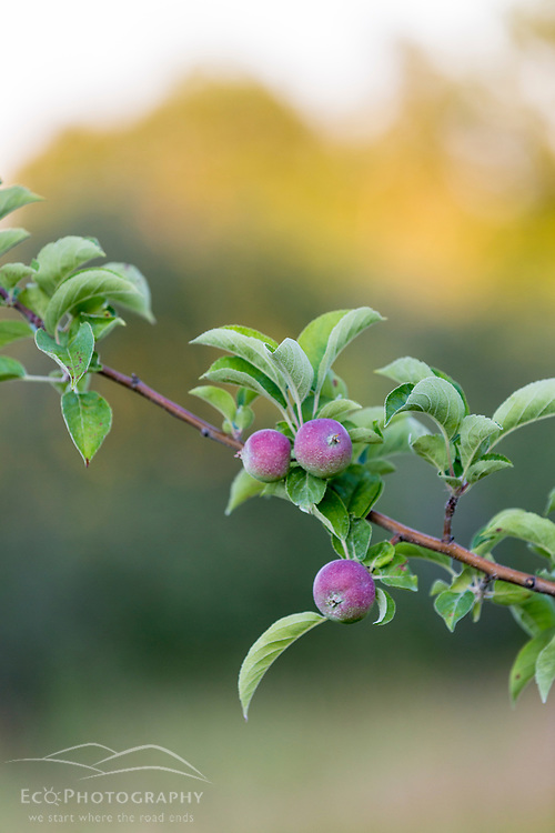 Apples growing at the Sullivan Farm in Nashua, New Hampshire.