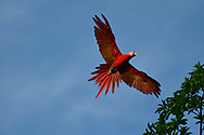 Close-up, low angle view of a flying Scarlet Macaw (Ara macao) against a blue sky in Golfo Dulce, Costa Rica.