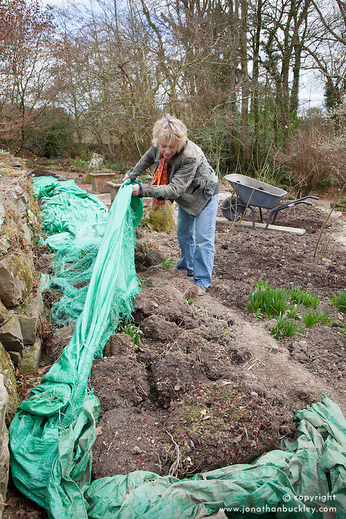 Carol pulling back cover to show plants that have been dug up from Annie's border