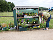 Woman looking at plants from a roadside stall, Bawdsey, Suffolk, England