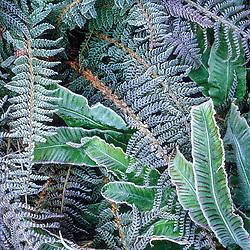 Frost on the foliage of Asplenium scolopendrium ( Hart's tongue fern ) and Polystichum setiferum divisilobum