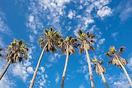 Palm trees at Venice Beach, Los Angeles, California.