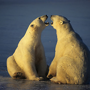 Polar Bear (Ursus maritimus) playing on the ice in Churchill, Manitoba, Canada.