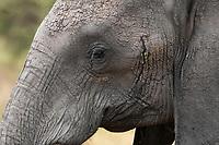 Close-up of the eye of an African Elephant, Loxodonta africana, in Tarangire National Park, Tanzania
