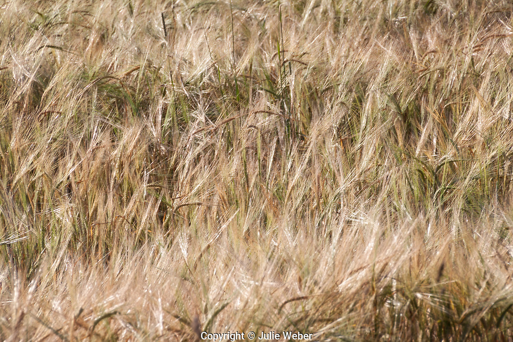 Wheat and wind...