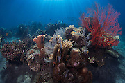 INDONESIA. Jemeluk Bay, Ahmed, Bali.  July 13th, 2013.  Steps from the beach in a secluded bay on the North East coast of Bali, some of the most ecologically sensitive and diverse marine habitats can be found.  At the centre of the coral triangle in the Indo Pacific, this coastline is home to some 75% of the world's coral species.