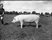 12/09/1960<br /> 09/12/1960<br /> 12 September 1960<br /> Boars at Whitehall, Drumcondra for the Department of Agriculture. Boar No. 2904.