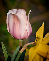 Tulip Bloom. Image taken with a Nikon 1 V3 camera and 70-300 mm VR lens.