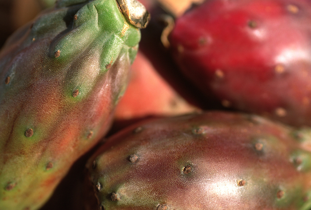 Close up selective focus photograph of some Prickley pears