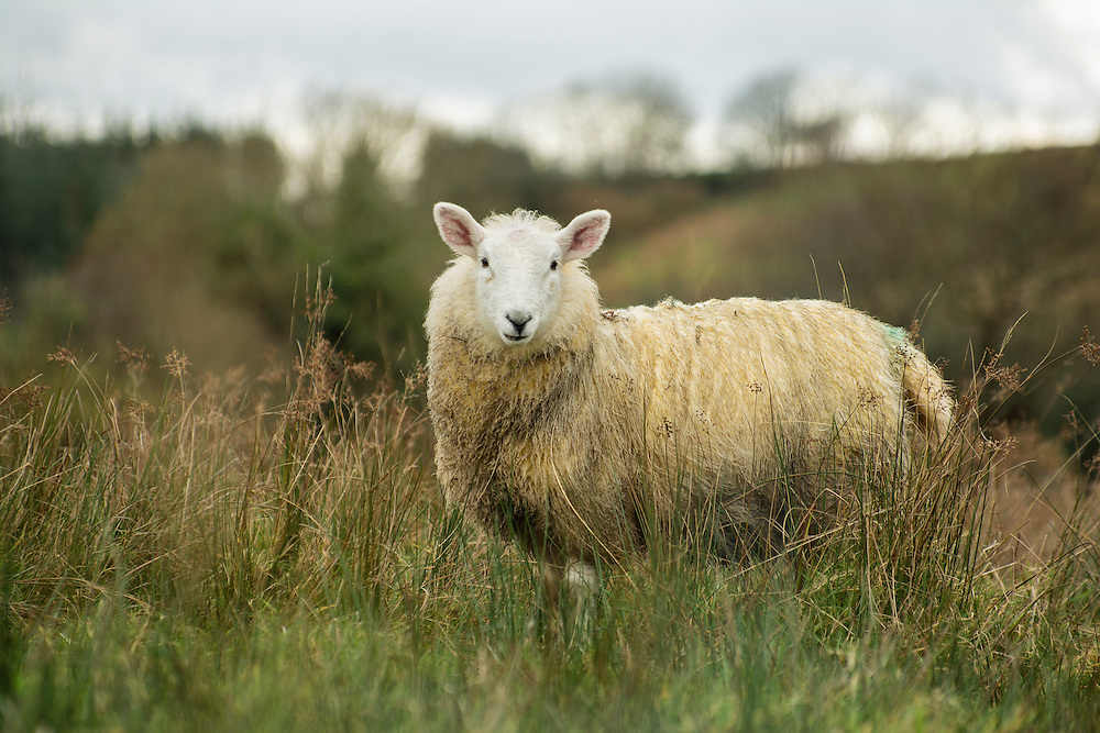 One of the many sheep in Co Donegal, Ireland.