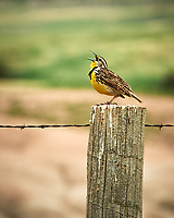 Western Meadowlark. Badlands National Park. Image taken with a Nikon D3 camera and 80-400 mm VR lens.