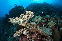 Scrawled Filefish Blends in With the Reef<br /> <br /> shot in Indonesia