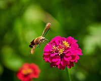 Hummingbird Clearwing Moth (Hemaris thysbe) feeding on a Zinnia Flower. Image taken with a Nikon D850 camera and 70-300 mm VR lens