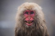 A portrait of a snow monkey (Macaca fuscata) sitting and grinning with a full smile in a steamy hot spring, Jigokudani, Yamanouchi, Japan