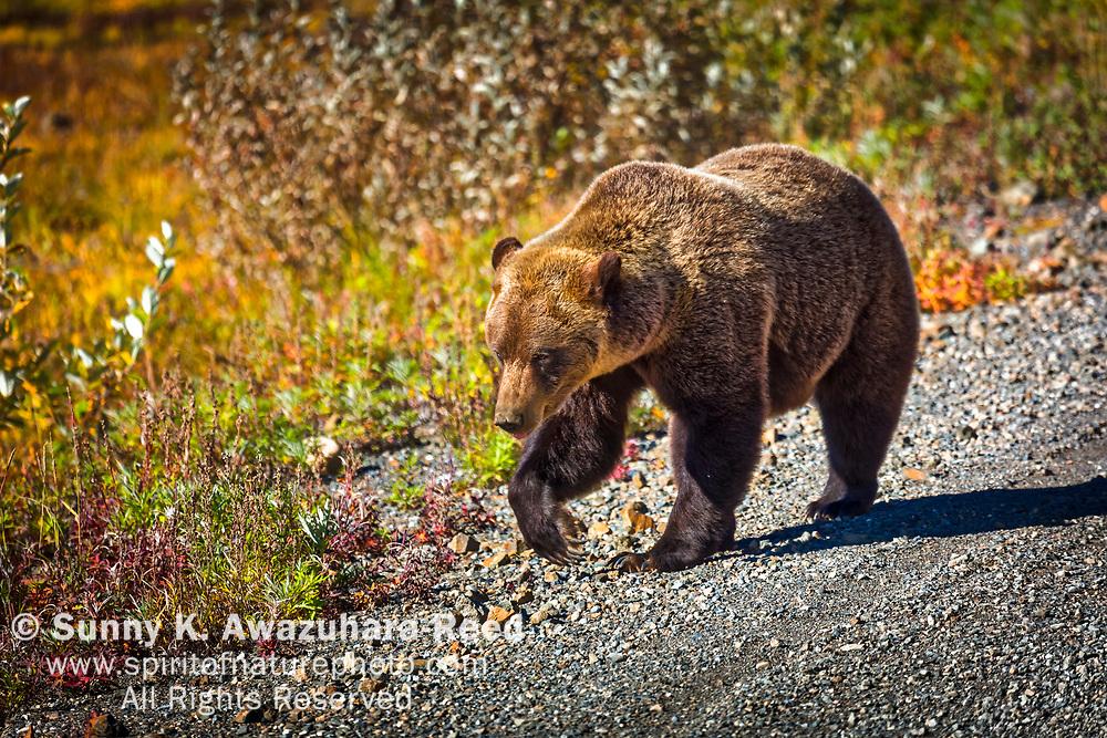 Grizzly Bear stroll along Denali Park Road. Denali National Park & Preserve, Interior Alaska, Autumn.
