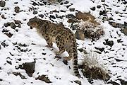 Leh - Sunday, Dec. 3, 2006: An adult male snow leopard (Unica unica) climbs a snowy slope in Hemis National Park, Ladakh. (Photo by Peter Horrell / www.peterhorrell.com)