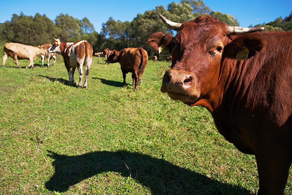 Cows grazing on a floodplain meadow close to the village of Nova Sedlica, Slovakia.
