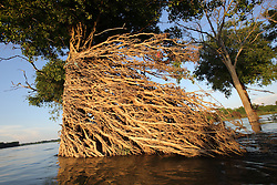 Trees with aerial roots and bent over by the force of wet season water flows in the Mekong River, Stung Treng Ramsar site, Champasak Province, Lao PDR