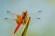 A Flameskimmer dragonfly shortly aftrer moulting, allowing the wings to inflate