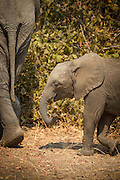 Young African Elephant and mother, Luangwa River Valley Zambia, Africa
