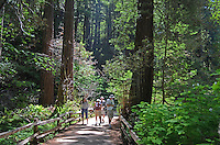 Muir Woods is world famous for its redwoods, Sequoia sempervirens. it is  located in the midst of a metropolitan region just eight miles north of San Francisco. 201304302186<br />