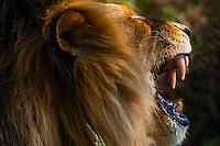 Male Lion yawning, Lion Park, near Johannesburg, Gauteng Province, South Africa.