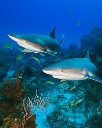 Caribbean Reef Sharks, Carcharhinus perezii, swimming over coral reef ledges, West End, Grand Bahama, Bahamas, Caribbean, Atlantic Ocean