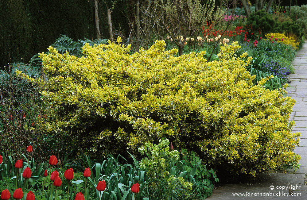 Euonymus fortunei 'Silver Queen' used as an anchor plant amongst tulips in the Long Border at Great Dixter
