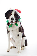 Christmas hats and collars are pretty much a given.