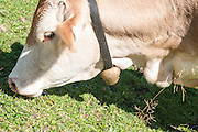 Cow with Bell. Photographed in Tirol, Austria