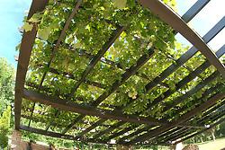 Wine grapes on pergola