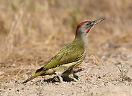 Iberian Green Woodpecker - Picus sharpei