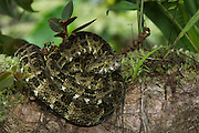 Speckled forest-pitviper (Bothriopsis taeniata)<br /> Amazon<br /> ECUADOR<br /> Vivarium ID # 3348<br /> Captive