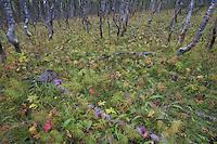 Silver Birch (Betula pendula) Boreal birch forest, Sarek National Park, Laponia World Heritage Site, Sweden