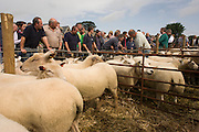 Buyers for sheep up for auction at the ancient annual Priddy Sheep Fair in Somerset, England.