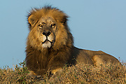 Lion (Panthera leo) this is one of the Duba pride males. Duba Plains. Okavango Delta<br /> BOTSWANA. Southern Africa.<br /> THE INTERACTION BETWEEN THESE LIONS AND THE LARGE BUFFALLO HERD AT DUBA HAS RECENTLY BEEN THE SUBJECT OF A NATIONAL GEOGRAPHIC DOCUMENTARY FILMED BY DEREK AND BEVERLEY JOUBERT.