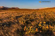 Arrowleaf balsomroot wildflowers in the grasslands along the Rocky Mountain Fronbt near Augusta, Montana, USA